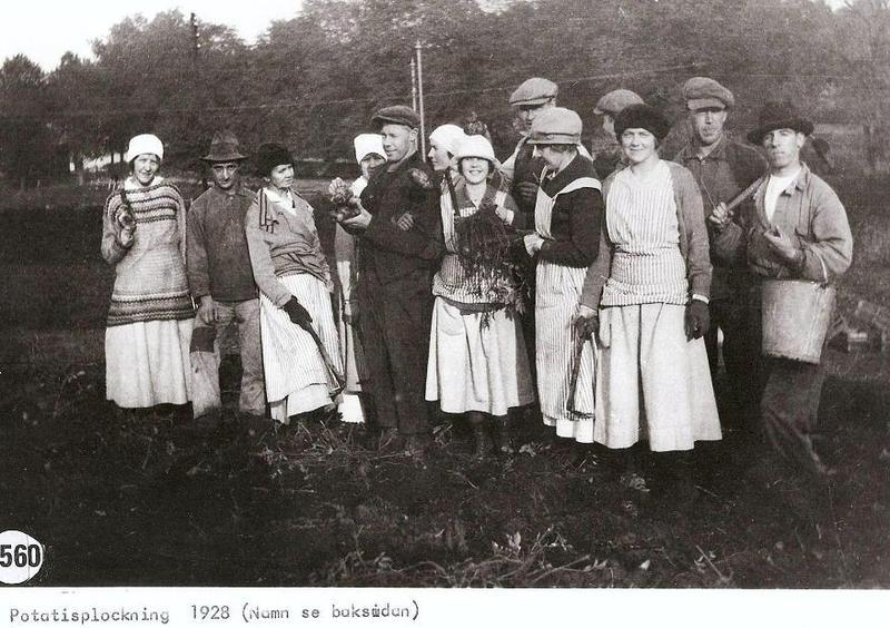 Potatisplockning 1928.